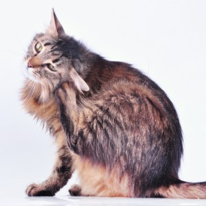 External Treatments For Cats