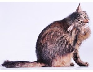 Skin Allergy Prescription Pack - Cats